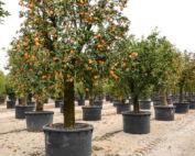 Citrus sinensis and Vitis vinifera Protect Cardiomyocytes